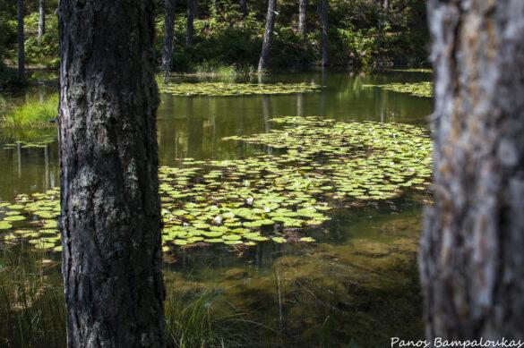 Λίμνη με νούφαρα