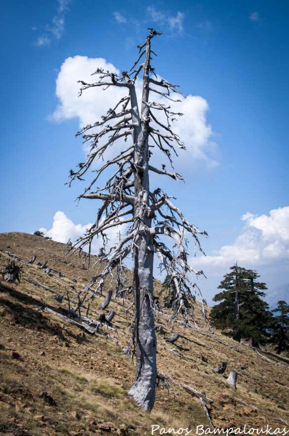 Καμένο δέντρο από κεραυνό