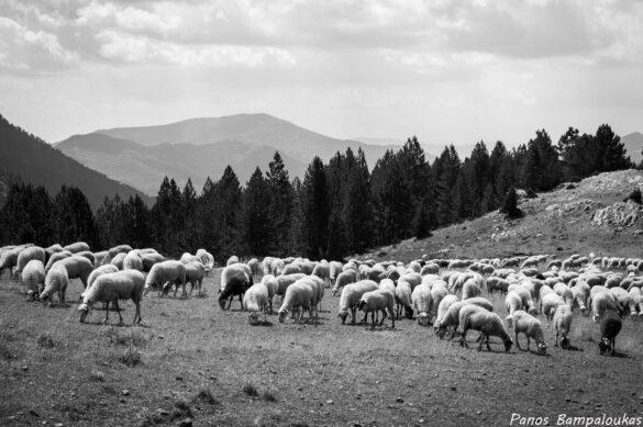 Κοπάδι με πρόβατα στο Αυγό